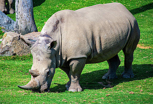 African Rhino by Anthony Jones