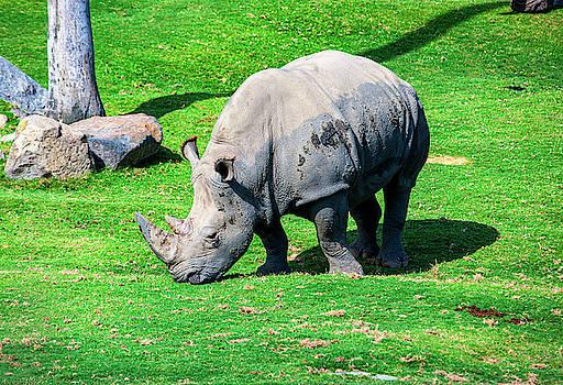 African Rhinoceros by Anthony Jones