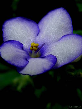 African Violet by Angie Runyan