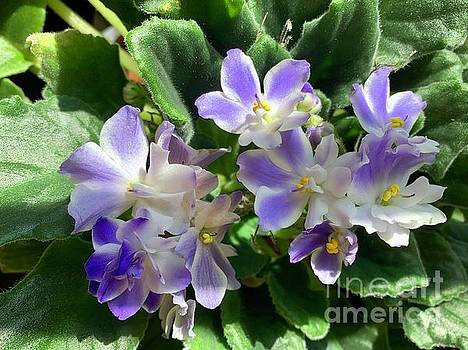 African Violets by Linda Covino