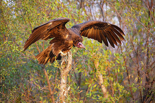 African Vulture by John Rodrigues