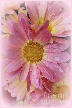 After the Rain - Pink Mums by Dora Sofia Caputo Photographic Design and Fine Art