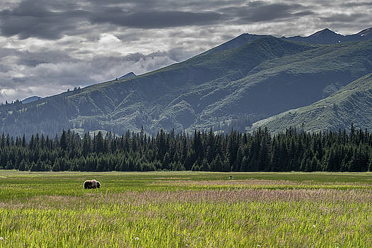 Mark Hunter - Alaska Brown Bear in a meadow with mountains behind