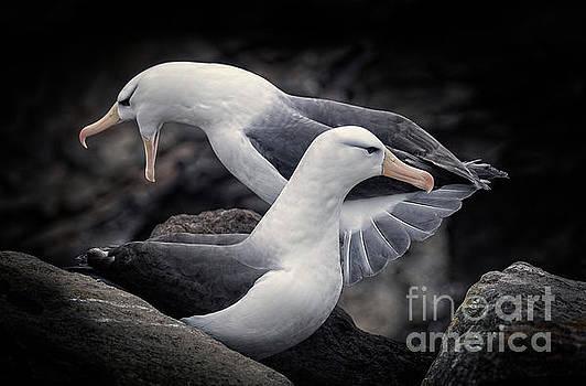 Albatross by Patti Schulze