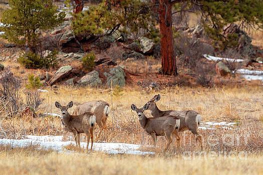 Steve Krull - Alert Herd of Colorado Deer