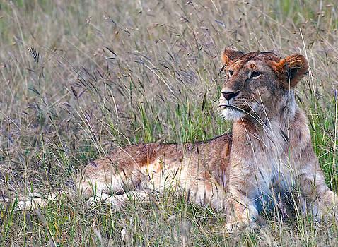 Daniel Hagerman - ALERT LIONESS on the AFRICAN PLAIN