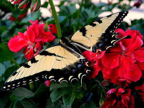 Arlane Crump - All Aflutter - Swallowtail Butterfly