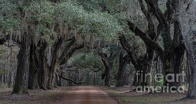 Allee' of Live Oaks - Lowcountry Southern Plantation by Dale Powell