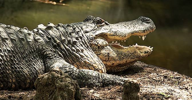 Alligator at Lowry Park Zoo by Richard Goldman