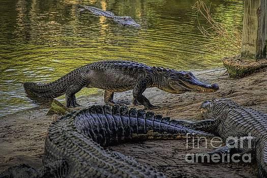 Paulette Thomas - Alligator Lurking