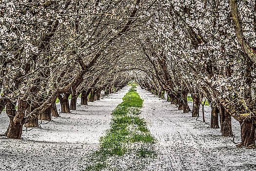 Almond Blossoms by Dave Prendergast