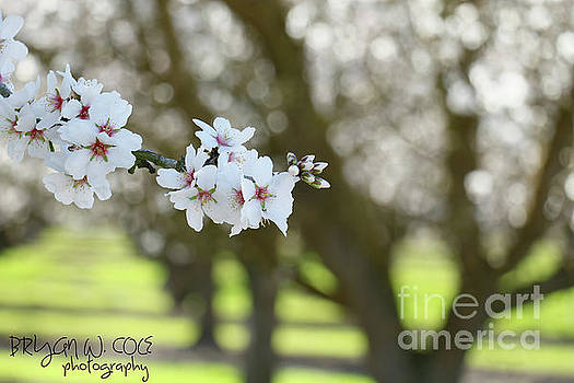 Almond Blossoms Spring. by Bryan Cole Photography
