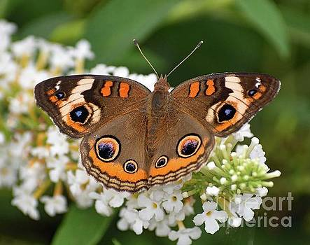 Cindy Treger - Amazing Beauty - Common Buckeye