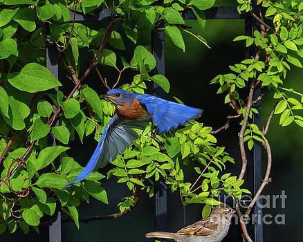 Amazing Blue Eastern Bluebird by Cindy Treger
