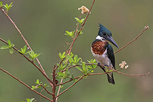 Amazon Kingfisher by Jean-Luc Baron
