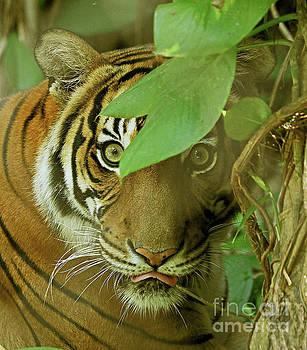 Ambush Tiger by Larry Nieland