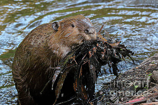 American Beaver 1496 by Craig Corwin