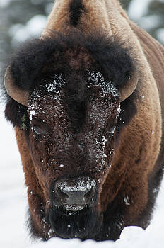 American Bison - Winter in Yellowstone by Frank Madia
