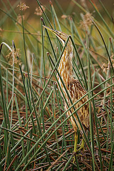 American Bittern at dawn by Doug Herr
