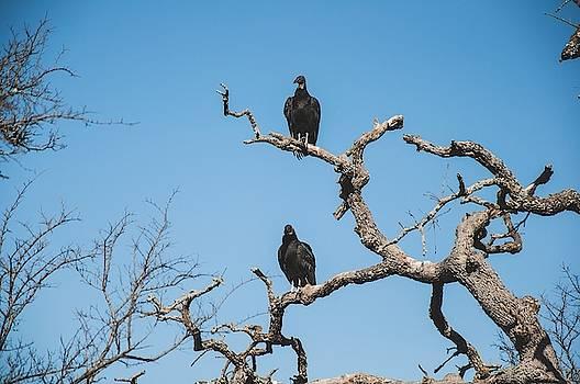 American Black Vulture by Krysten Brown
