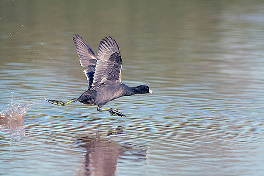 American Coot 7470-110118 by Tam Ryan