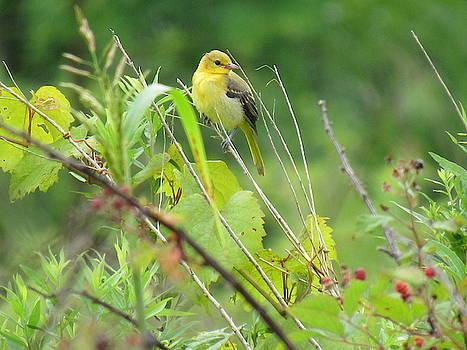 American Goldfinch by Mandy Byrd