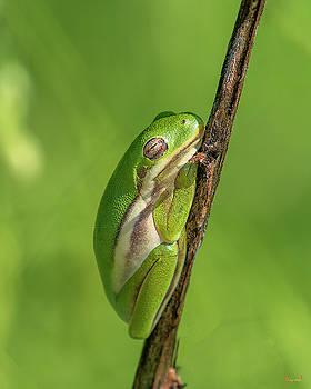 American Green Tree Frog DAR034 by Gerry Gantt