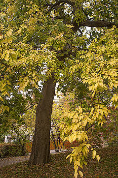 Jenny Rainbow - American Hackberry Tree in Autumn Dress 1