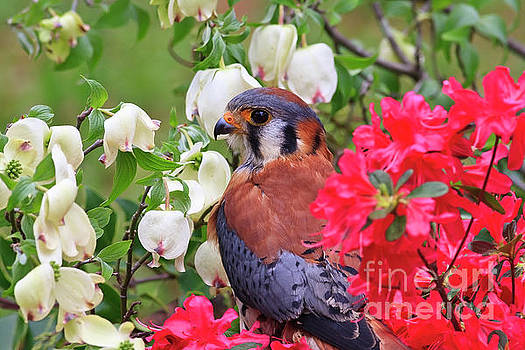 Jill Lang - American Kestrel Sitting in the Spring Azaleas