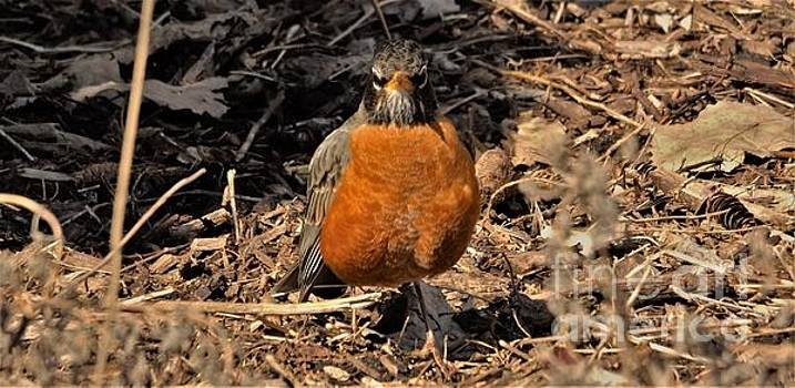 American Robin Among Tree Litter           Spring      Indiana by Rory Cubel