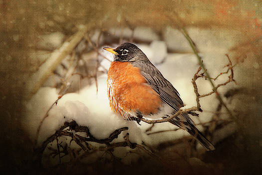 Rosette Doyle - American Robin in Snow