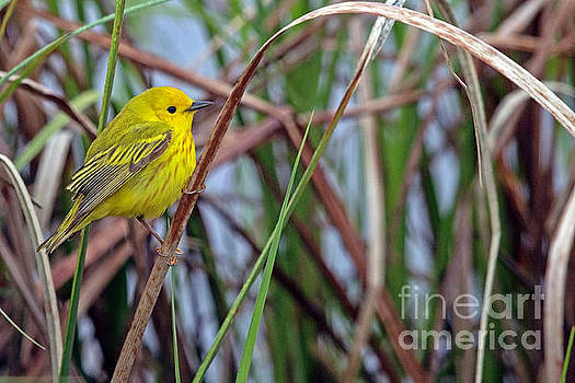 American Yellow Warbler by Natural Focal Point Photography