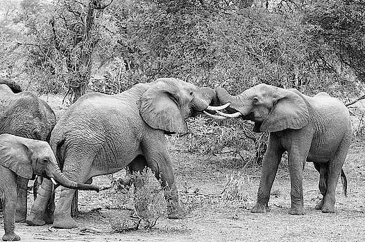 Mark Hunter - An African Elephant Tussle in Monochrome