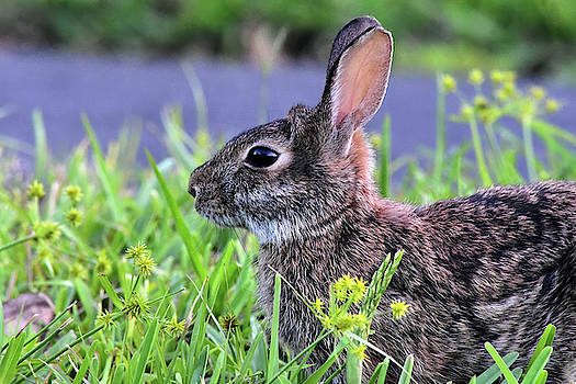 An Awww Bunny by William Tasker