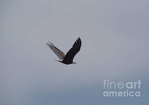 An eagle in flight by Jeff Swan