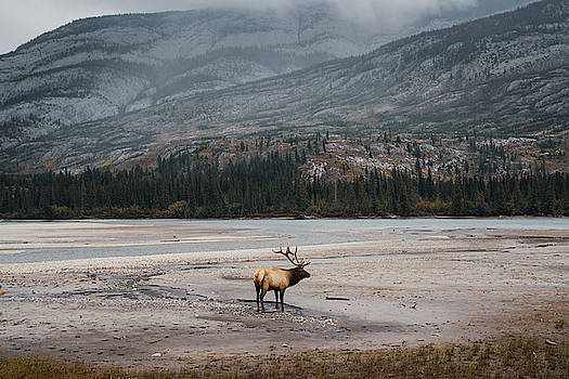 An Elk in the Jasper National Park in Canada by Kamran Ali