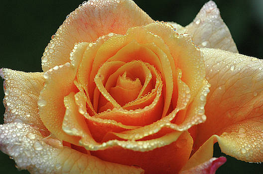 An Orange Rose In The Morning Dew by Karsten Eggert