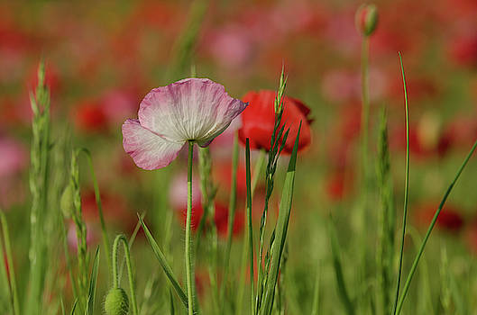 And They Called It Poppy Love by Donna Collins
