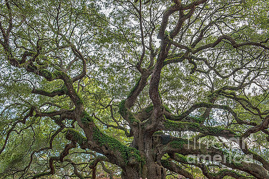 Angel Limbs - Johns Island by Dale Powell