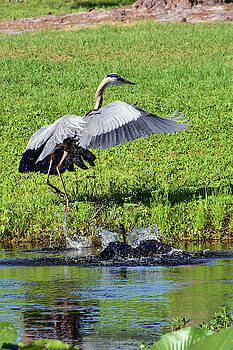 Anhinga Chases Great Blue Heron by William Tasker
