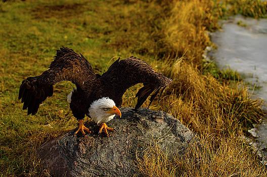 Animal - Bird - Bald Eagle - Preparing For Take Off by CJ Park