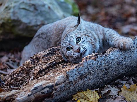 Animals - Mammal - Bobcat by CJ Park