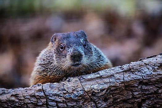 Animlas- Mammal - Groundhog - Groundhog Peek-a- Boo by CJ Park