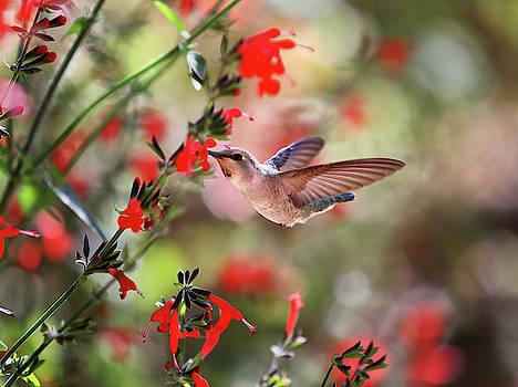 Anna's Hummingbird in Flight by Fred Hood