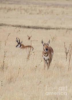 Antelope Island Antelope by Randy Kostichka