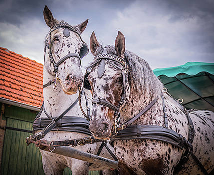 Apaloosa horses pull a carriage by Karsten Eggert