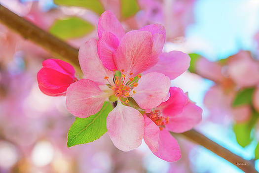 Apple Blossoms Red and Blue by Leland D Howard