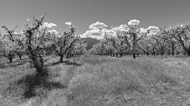 Apple Orchard Blossom Time Black and White by Allan Van Gasbeck