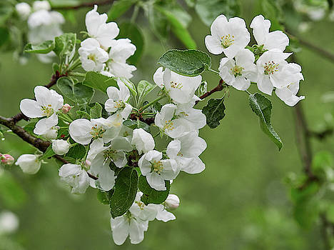 Apple tree white blossom by Jouko Lehto
