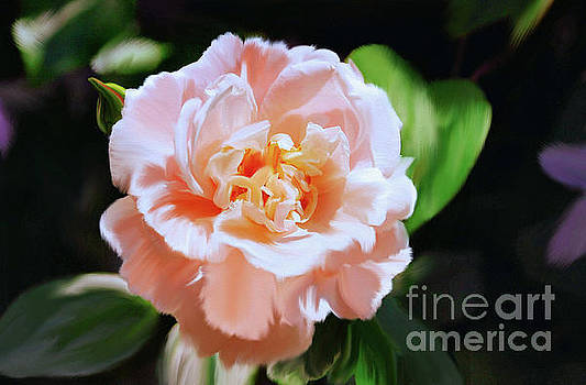 Apricot Rose by Elaine Manley